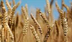 صورة لمحصول القمح