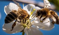 العلماء دربوا نحو 150 نحلة باستخدام نظرية