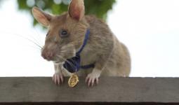 الفأر الإفريقي أُحيل للتقاعد بعد أن ساهم في تطهير أكثر من 141 ألف متر مربع من الأرض