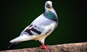 البلدين سبق واستخدما الطيور طوال النزاع في أعمال نقل المعلومات