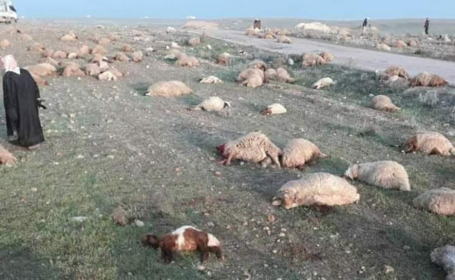 مقتل مئات الأغنام على يد الميليشيات الإيرانية