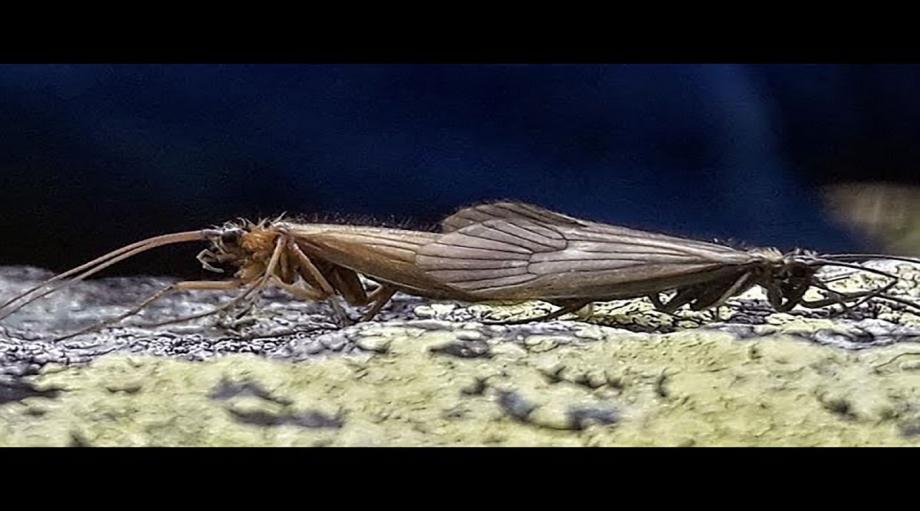 ذبابة كورونا