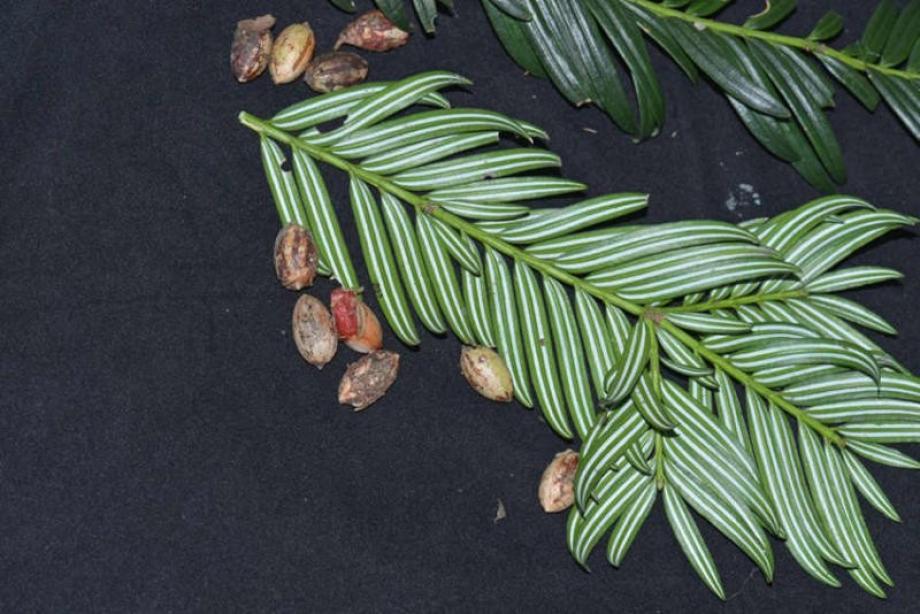 صورة لعينة من الشجر المكتشف